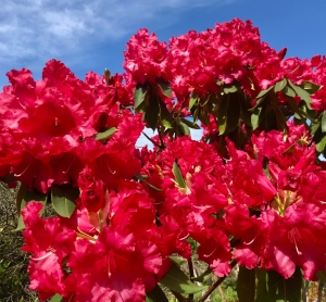 Red Rhododendron in my garden